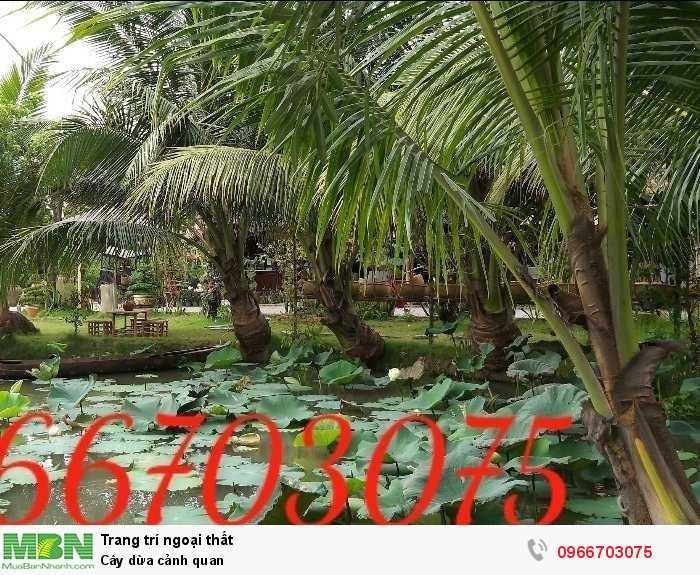 Cây dừa  trang trí cảnh quan