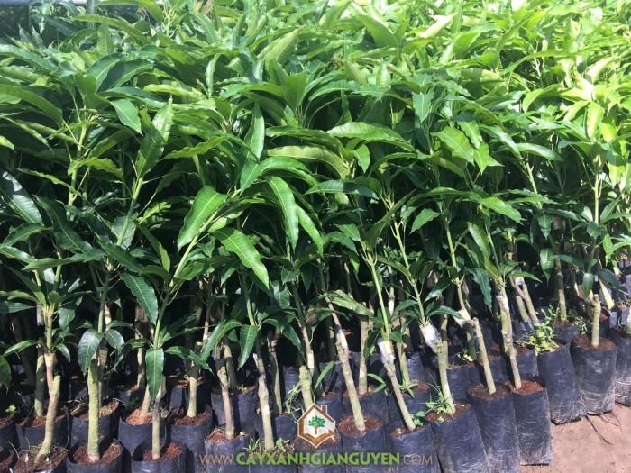 Cây Xoài Tứ Quý - Nhà vườn cây xanh Gia Nguyễn