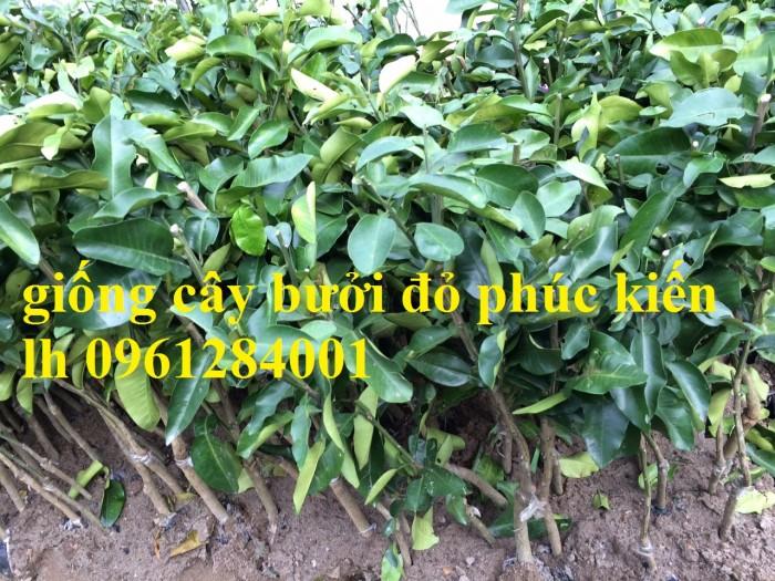 Cây giống bưởi đỏ phúc kiến, bưởi vàng phúc kiến, cây giống nhập khẩu uy tín, chất lượng10