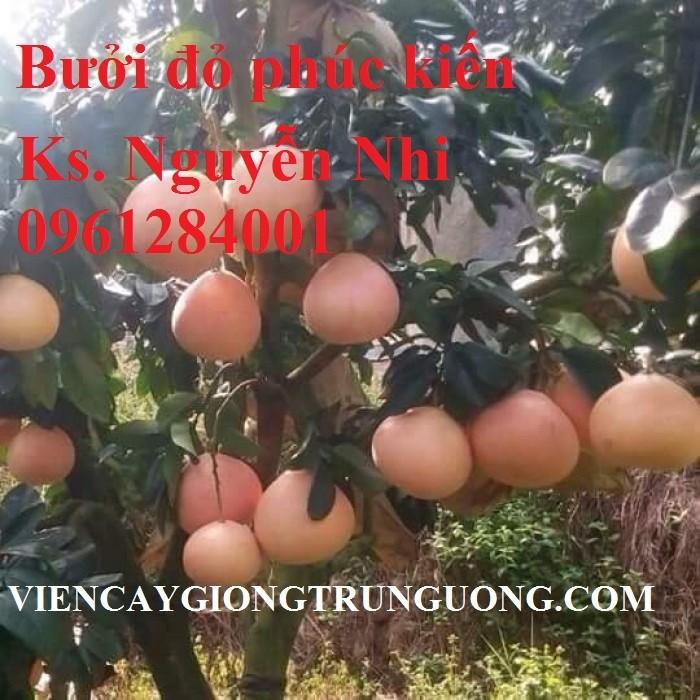 Cây giống bưởi đỏ phúc kiến, bưởi vàng phúc kiến, cây giống nhập khẩu uy tín, chất lượng5