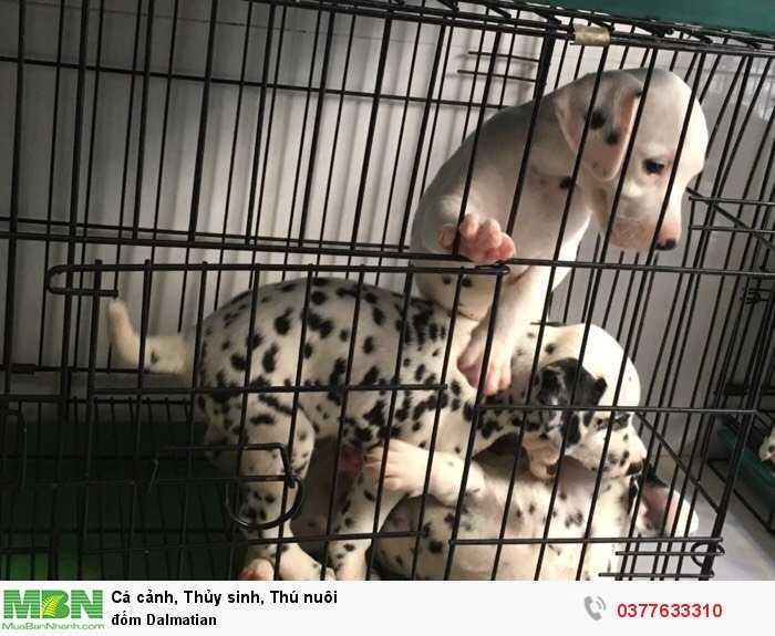 Đốm Dalmatian2