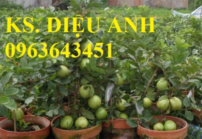 Cung cấp cây ổi giống: ổi nữ hoàng, ổi Thái Lan, ổi lê Đài Loan, ổi không hạt, năng suất cao, chất lượng tốt11