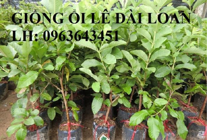 Cung cấp cây ổi giống: ổi nữ hoàng, ổi Thái Lan, ổi lê Đài Loan, ổi không hạt, năng suất cao, chất lượng tốt6