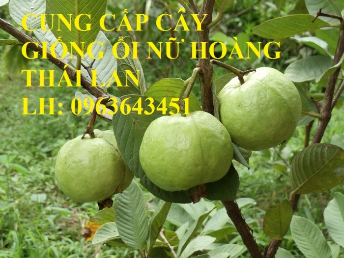 Cung cấp cây ổi giống: ổi nữ hoàng, ổi Thái Lan, ổi lê Đài Loan, ổi không hạt, năng suất cao, chất lượng tốt3