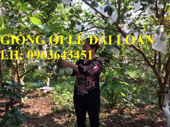 Cung cấp cây ổi giống: ổi nữ hoàng, ổi Thái Lan, ổi lê Đài Loan, ổi không hạt, năng suất cao, chất lượng tốt4