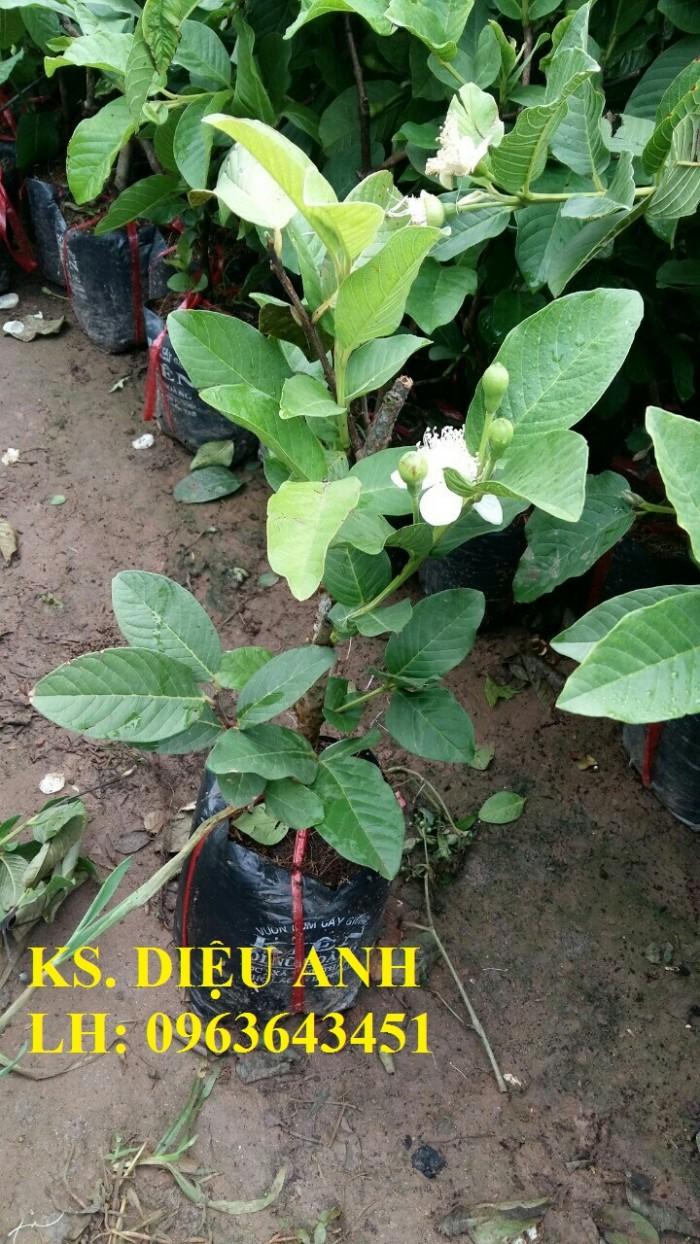 Cung cấp cây ổi giống: ổi nữ hoàng, ổi Thái Lan, ổi lê Đài Loan, ổi không hạt, năng suất cao, chất lượng tốt1