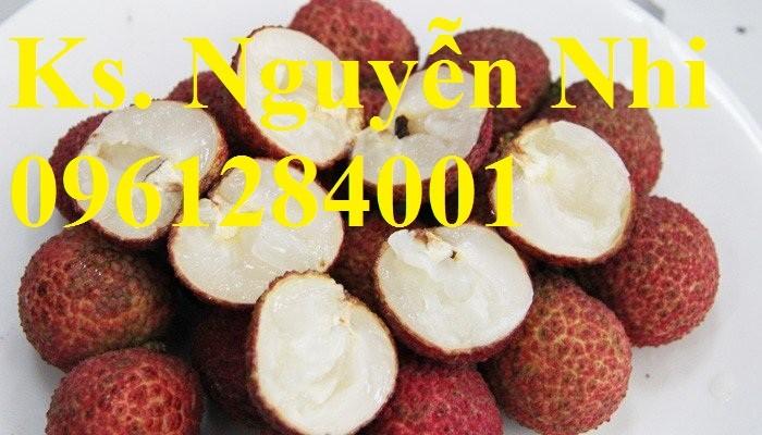 Cây giống vải không hạt, vải không hạt, cây vải, giống cây vải nhập khẩu uy tín, chất lượng11