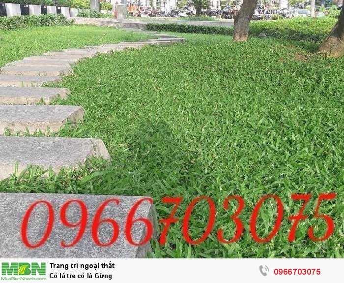 Cỏ lá tre cỏ lá Gừng1