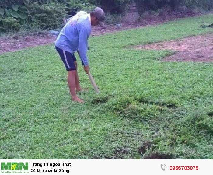 Cỏ lá tre cỏ lá Gừng2