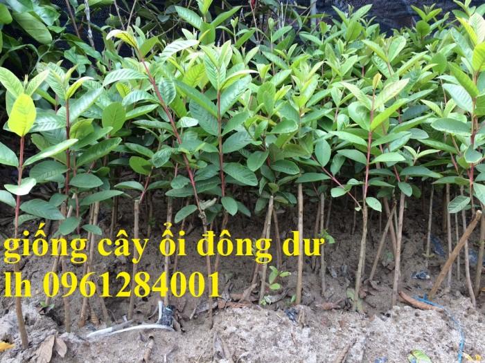 Bán cây giống ổi đông dư, ổi găng, ổi tứ quý, ổi tứ mùa, giống cây ổi, số lượng lớn, cam kết chất lượng2
