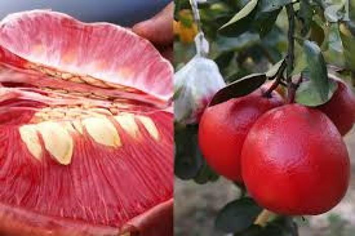 Cây giống bưởi đỏ luận văn, bưởi tiến vua, bưởi đỏ, cây giống F1, cam kết chất lượng15