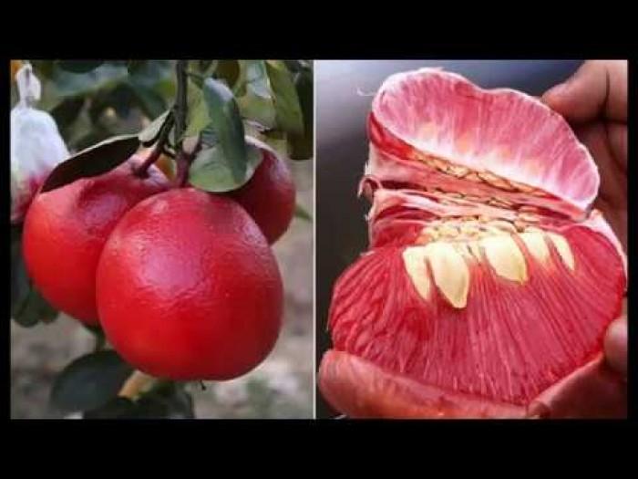 Cây giống bưởi đỏ luận văn, bưởi tiến vua, bưởi đỏ, cây giống F1, cam kết chất lượng14