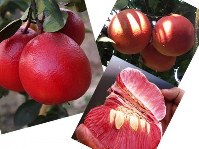 Cây giống bưởi đỏ luận văn, bưởi tiến vua, bưởi đỏ, cây giống F1, cam kết chất lượng5