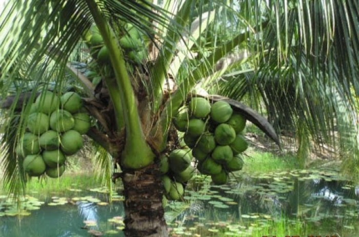 Bán giống DỪA DỨA, DỪA THƠM Thái Lan. Cam kết giống chuẩn và chất lượng6