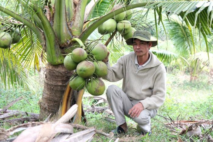 Bán giống DỪA DỨA, DỪA THƠM Thái Lan. Cam kết giống chuẩn và chất lượng5