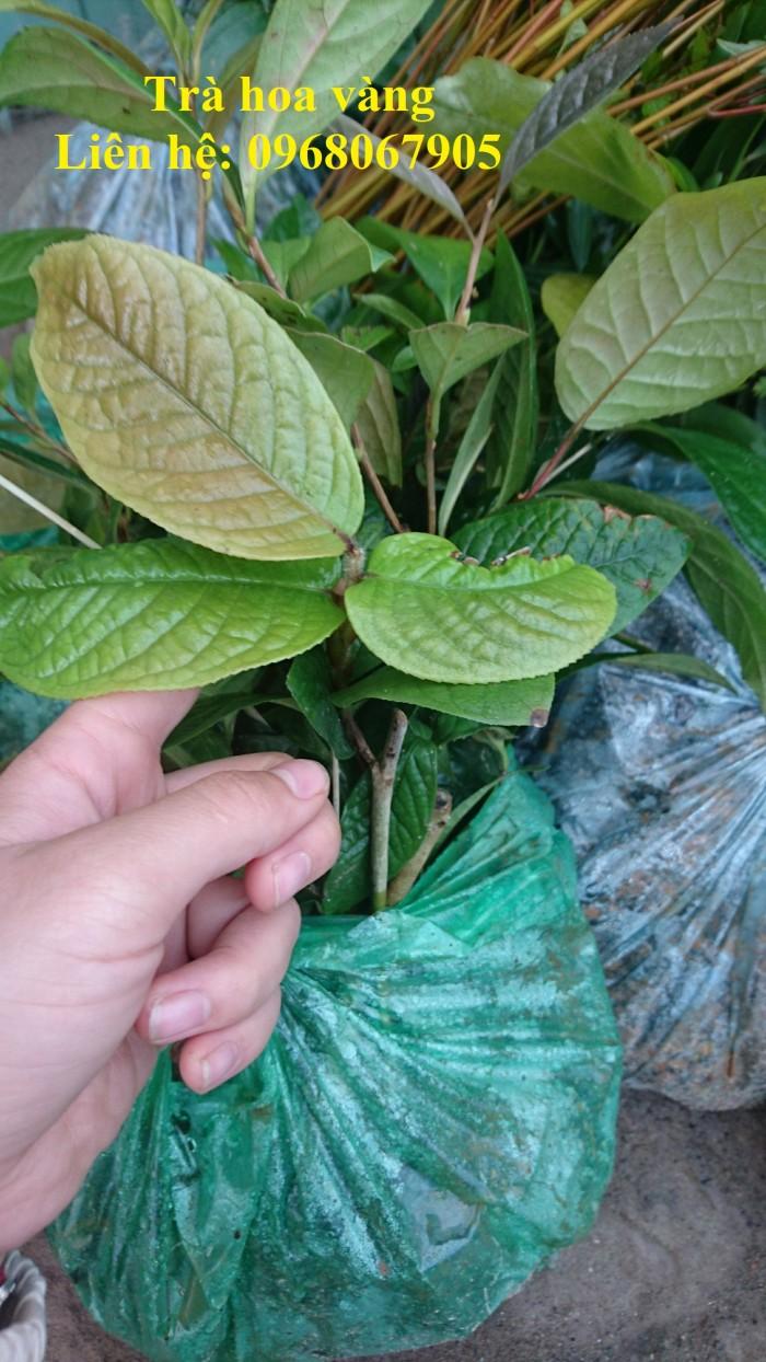 Cung cấp giống cây trà hoa vàng, giống giâm hom cam kết chất lượng1