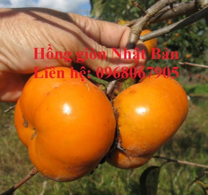 Bán, cung cấp sỉ - lẻ giống cây Hồng Giòn Nhật Bản. Cam kết giống chất lượng6