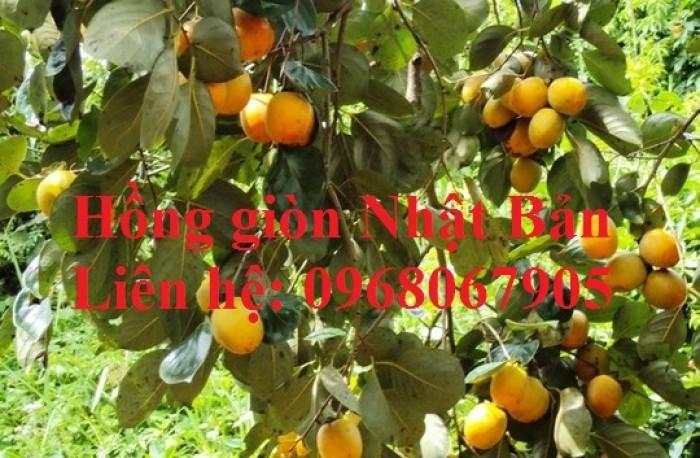 Bán, cung cấp sỉ - lẻ giống cây Hồng Giòn Nhật Bản. Cam kết giống chất lượng9