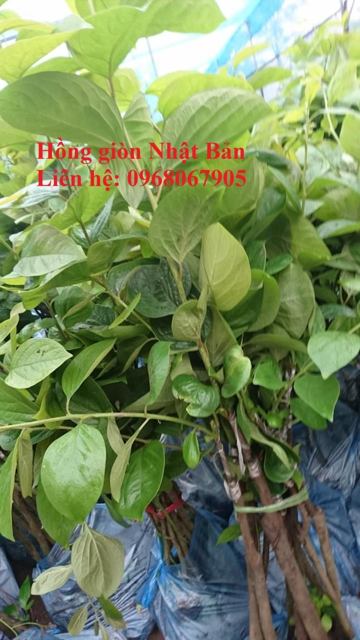 Bán, cung cấp sỉ - lẻ giống cây Hồng Giòn Nhật Bản. Cam kết giống chất lượng0