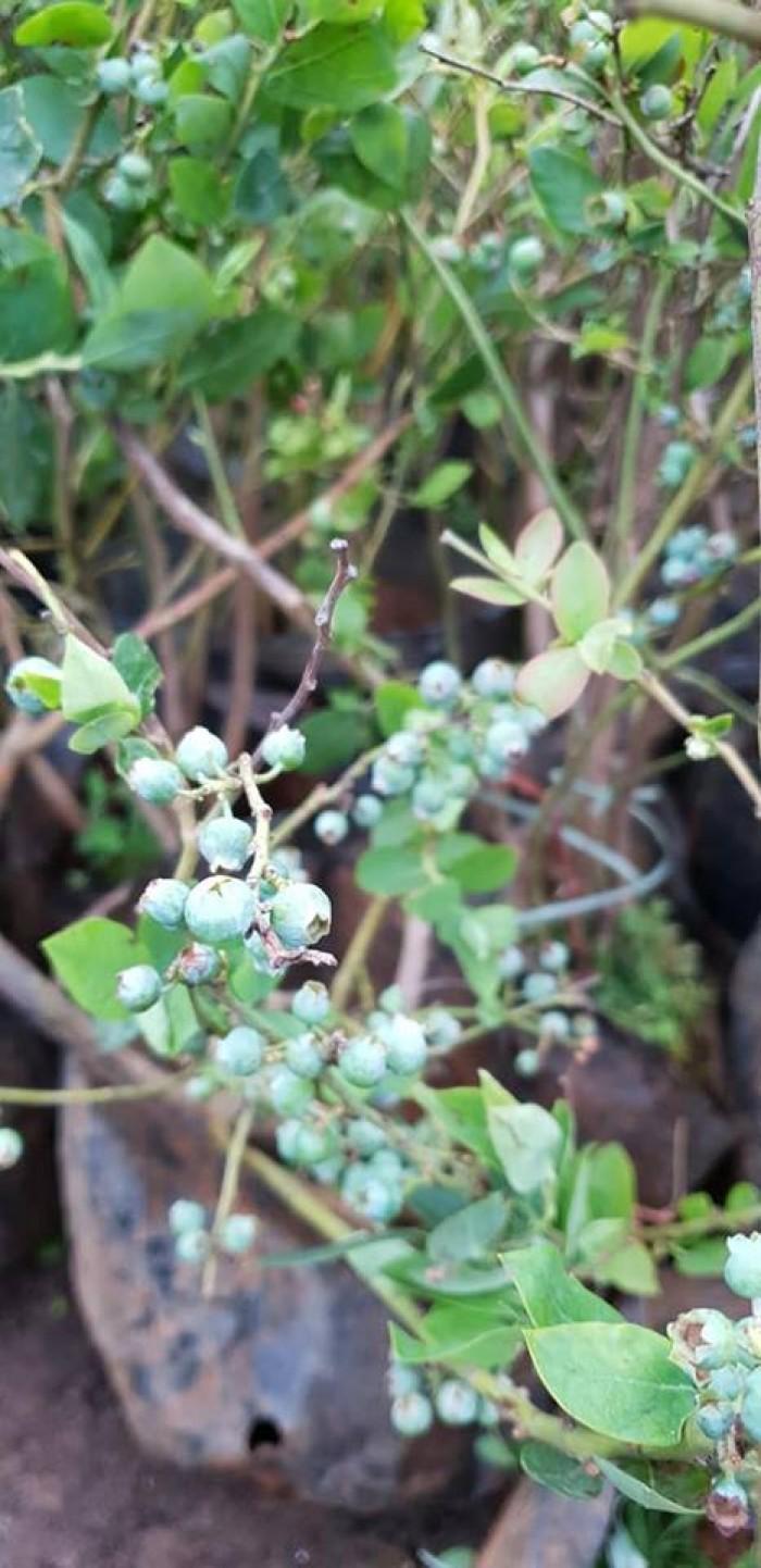 Giống cây việt quất đang sốt tại thị trường cây việt nam1