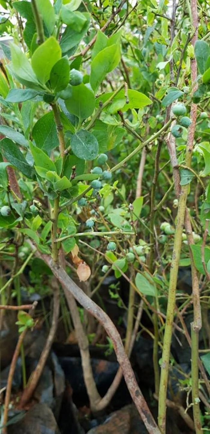 Giống cây việt quất đang sốt tại thị trường cây việt nam0