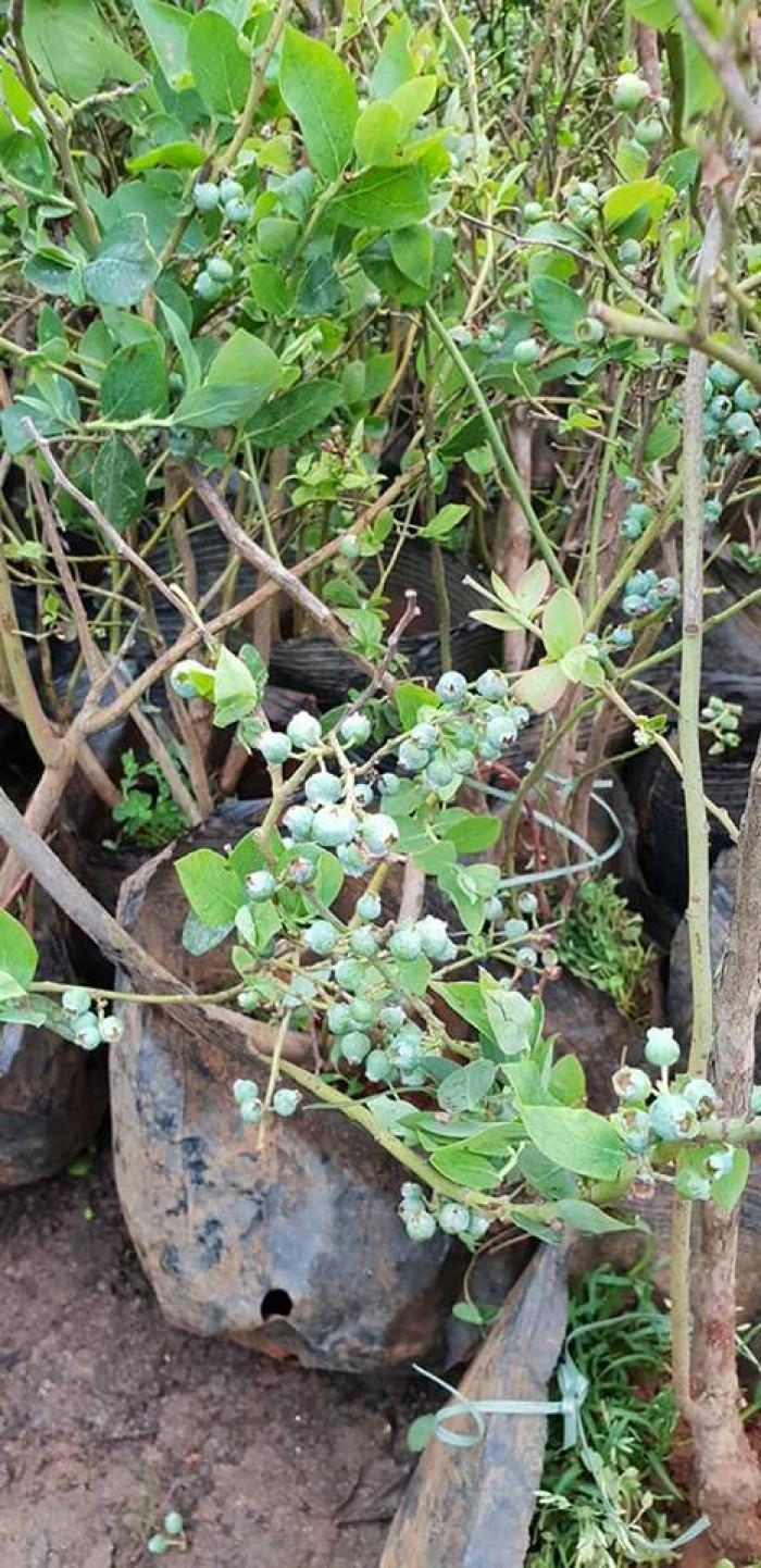 Giống cây việt quất đang sốt tại thị trường cây việt nam2