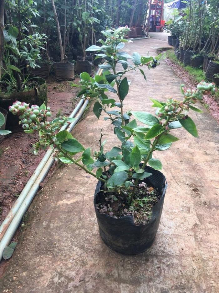 Giống cây việt quất đang sốt tại thị trường cây việt nam5