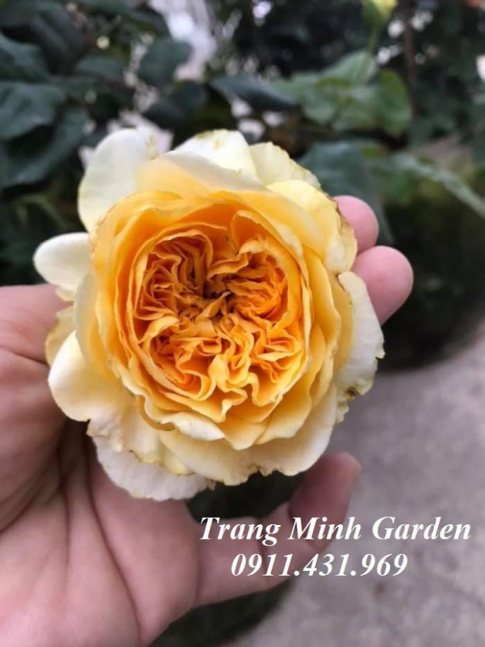 Hoa hồng ngoại Beatrice Rose0