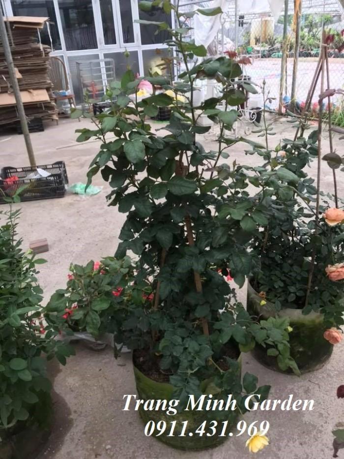 Hoa hồng ngoại Beatrice Rose1