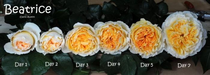 Hoa hồng ngoại Beatrice Rose2