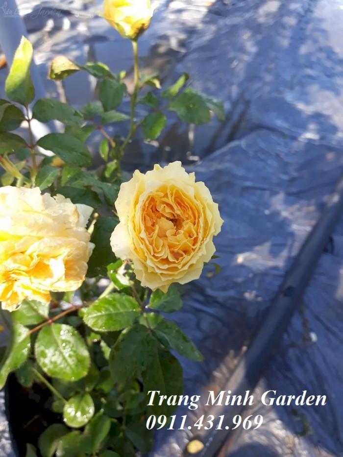 Hoa hồng ngoại Beatrice Rose3