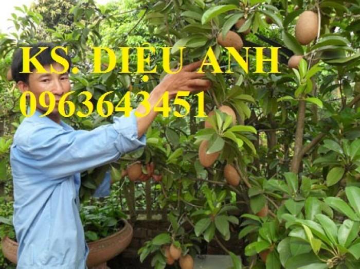 Cung cấp cây giống hồng xiêm xoài quả to, hồng xiêm ruột đỏ khổng lồ Thái Lan, giống sapoche Thái10
