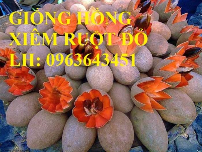 Cung cấp cây giống hồng xiêm xoài quả to, hồng xiêm ruột đỏ khổng lồ Thái Lan, giống sapoche Thái7
