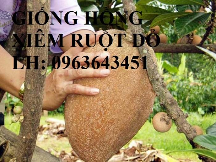 Cung cấp cây giống hồng xiêm xoài quả to, hồng xiêm ruột đỏ khổng lồ Thái Lan, giống sapoche Thái5