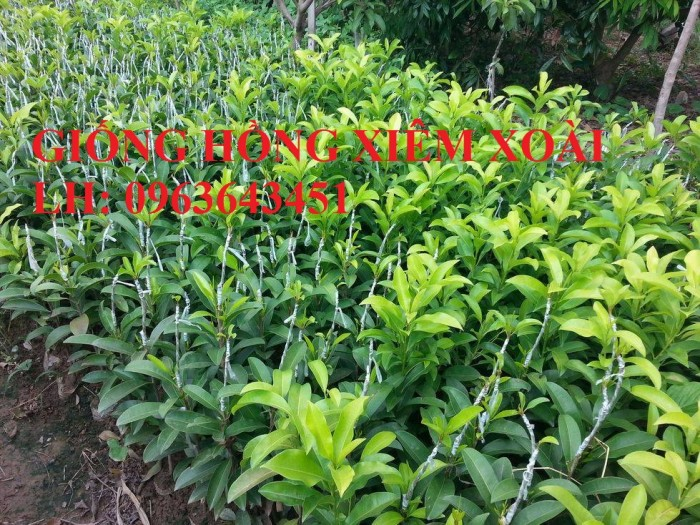 Cung cấp cây giống hồng xiêm xoài quả to, hồng xiêm ruột đỏ khổng lồ Thái Lan, giống sapoche Thái6