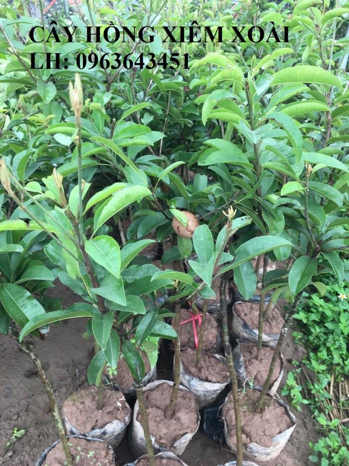 Cung cấp cây giống hồng xiêm xoài quả to, hồng xiêm ruột đỏ khổng lồ Thái Lan, giống sapoche Thái1