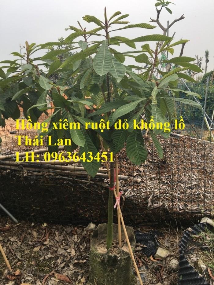 Cung cấp cây giống hồng xiêm xoài quả to, hồng xiêm ruột đỏ khổng lồ Thái Lan, giống sapoche Thái0