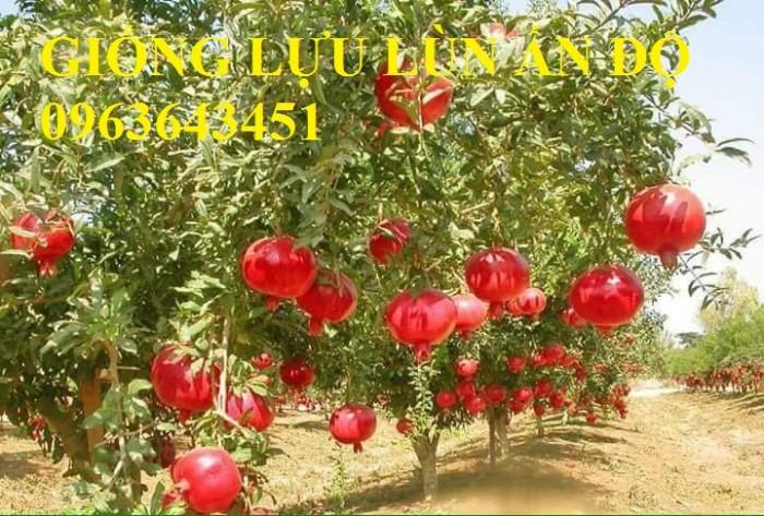 Cung cấp cây giống lựu đỏ không hạt Israel, lựu đỏ lùn Ấn Độ, lựu đỏ Ai Cập nhập khẩu chuẩn, uy tín8