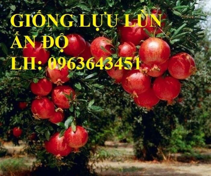 Cung cấp cây giống lựu đỏ không hạt Israel, lựu đỏ lùn Ấn Độ, lựu đỏ Ai Cập nhập khẩu chuẩn, uy tín1
