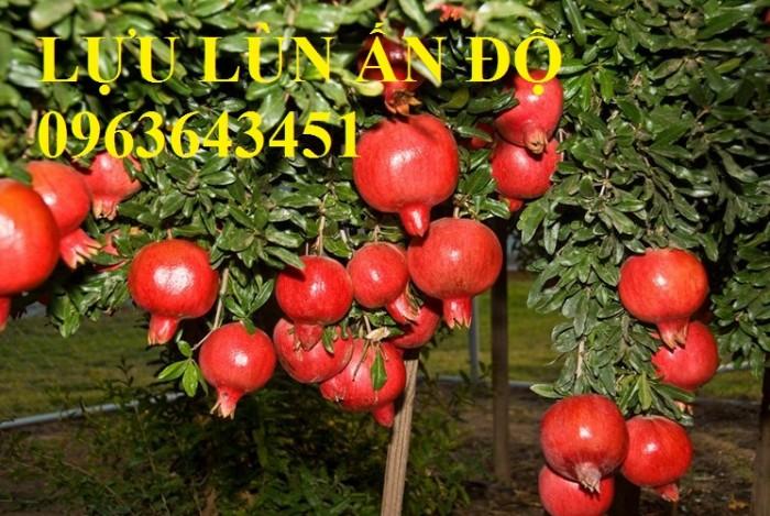 Cung cấp cây giống lựu đỏ không hạt Israel, lựu đỏ lùn Ấn Độ, lựu đỏ Ai Cập nhập khẩu chuẩn, uy tín4