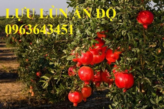 Cung cấp cây giống lựu đỏ không hạt Israel, lựu đỏ lùn Ấn Độ, lựu đỏ Ai Cập nhập khẩu chuẩn, uy tín6