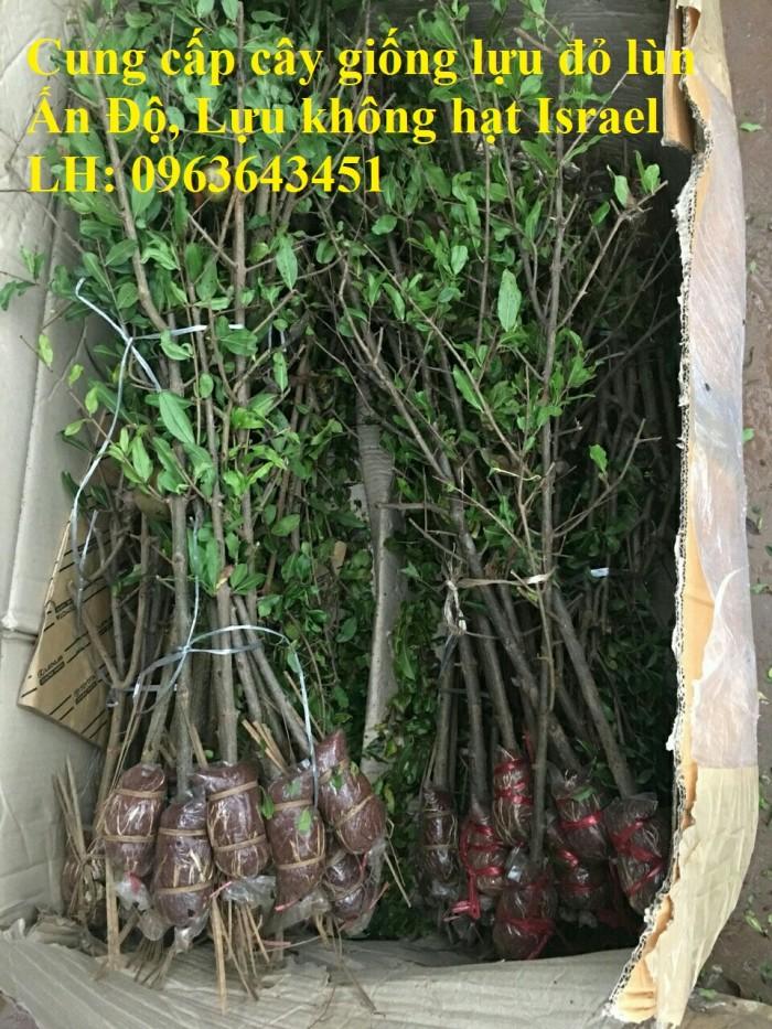 Cung cấp cây giống lựu đỏ không hạt Israel, lựu đỏ lùn Ấn Độ, lựu đỏ Ai Cập nhập khẩu chuẩn, uy tín0