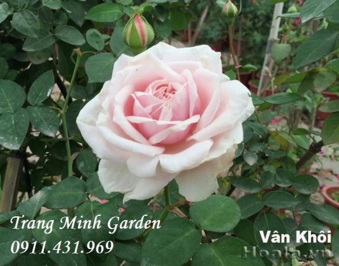 Hồng cổ Vân Khôi cho người yêu hoa hồng truyền thống.4