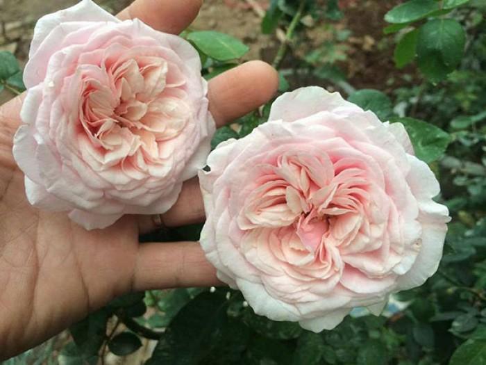 Hồng cổ Vân Khôi cho người yêu hoa hồng truyền thống.3