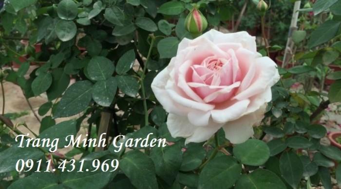 Hồng cổ Vân Khôi cho người yêu hoa hồng truyền thống.2