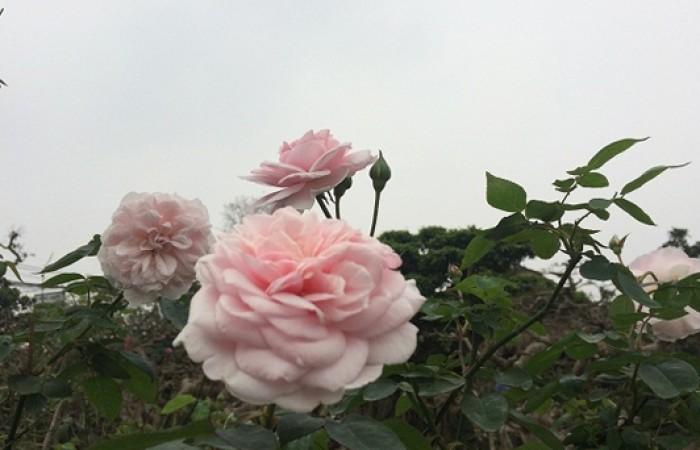 Hồng cổ Vân Khôi cho người yêu hoa hồng truyền thống.1