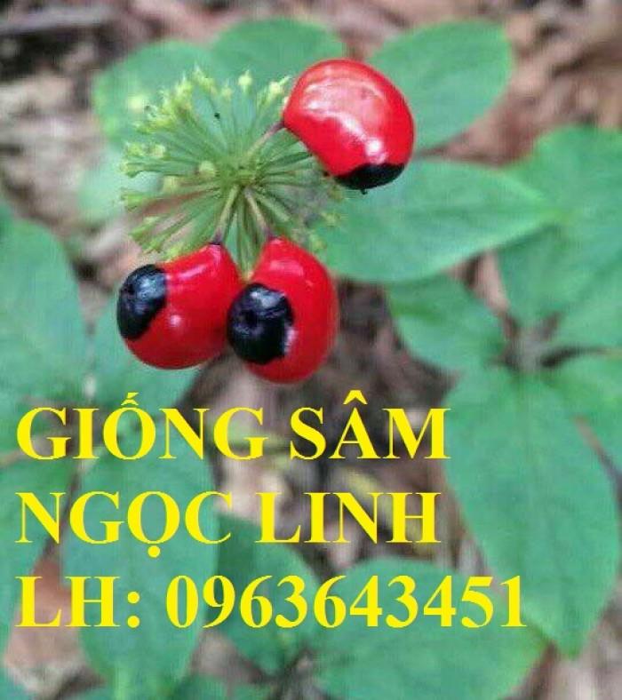 Cung cấp cây giống, hạt giống sâm dược liệu sâm bố chính, sâm đương quy, sâm ngọc linh chuẩn, uy tín2