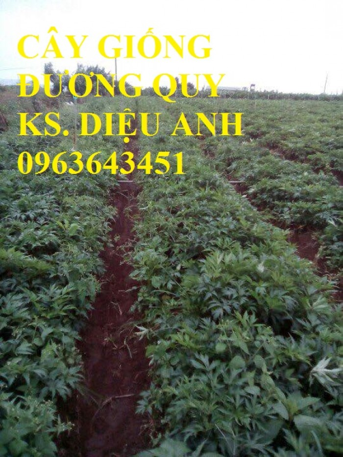 Cung cấp cây giống, hạt giống sâm dược liệu sâm bố chính, sâm đương quy, sâm ngọc linh chuẩn, uy tín3
