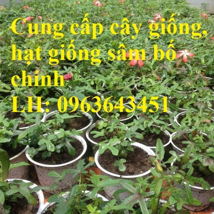 Cung cấp cây giống, hạt giống sâm dược liệu sâm bố chính, sâm đương quy, sâm ngọc linh chuẩn, uy tín4