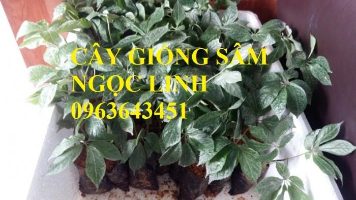 Cung cấp cây giống, hạt giống sâm dược liệu sâm bố chính, sâm đương quy, sâm ngọc linh chuẩn, uy tín18